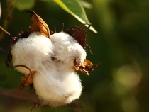 Levi's Focuses on Sustainable Cotton Production with BCI
