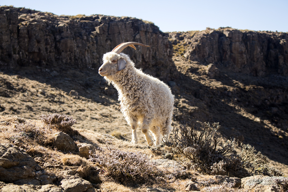 A South Africa mohair group clapped back at claims about animal abuse in its national industry.