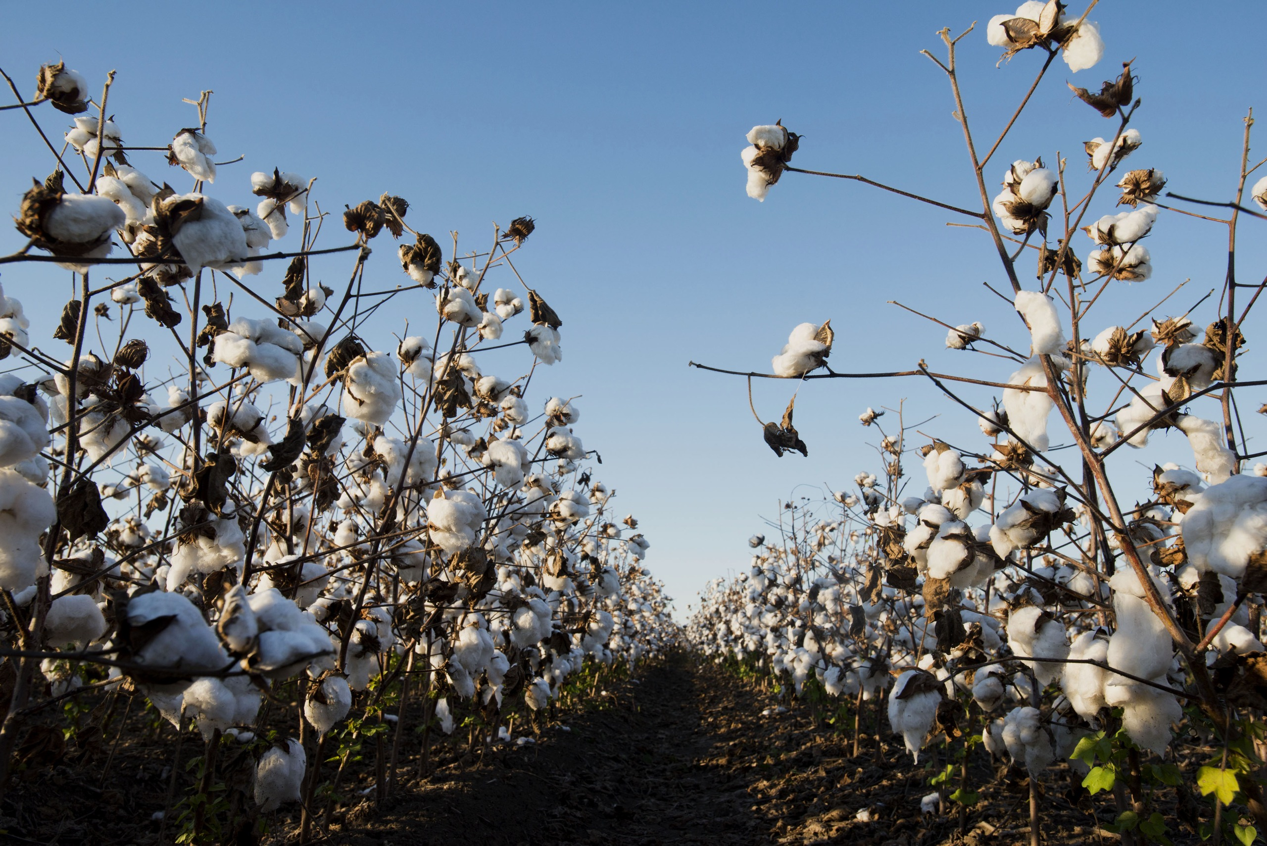 Cotton buds sit in a field during harvest at Condrey Farms in East Carroll Parish, Louisiana, U.S.