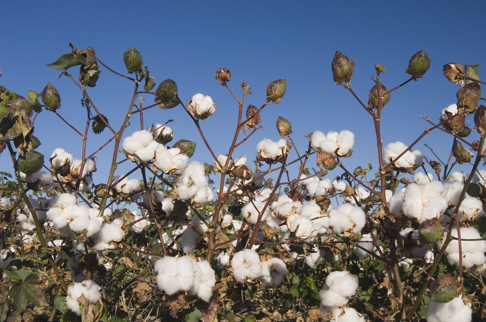 The weather this spring has been rough across the U.S. agriculture belt, and cotton farmers may have had some of the worst of it.