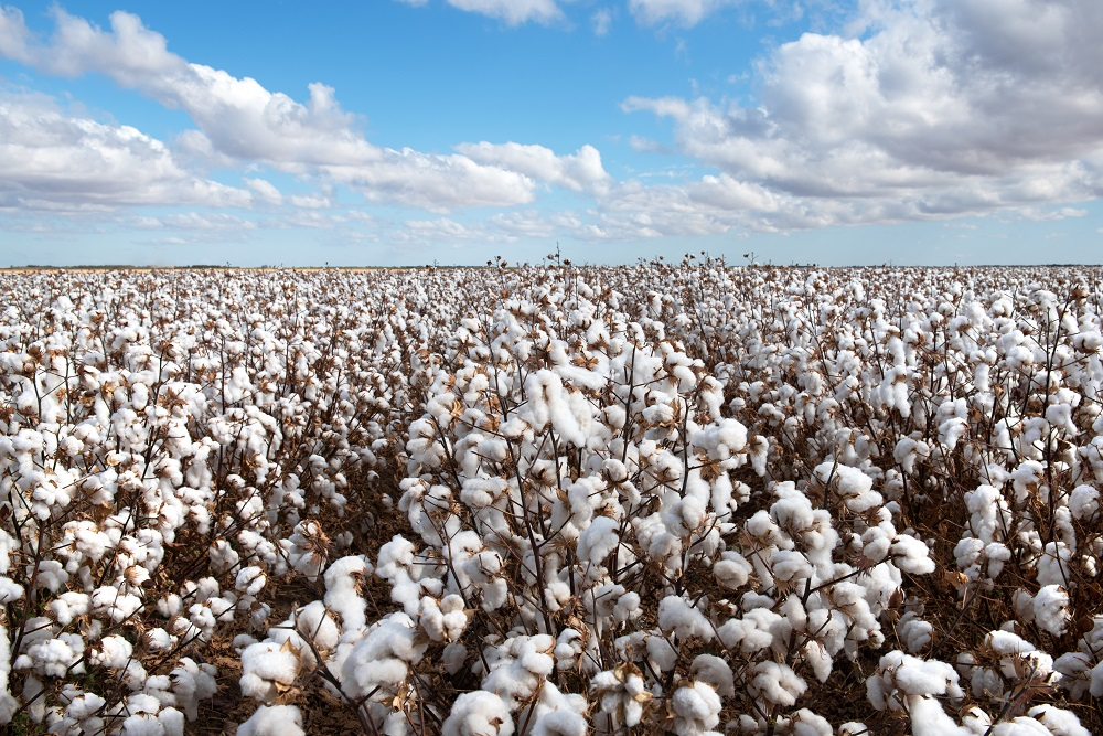 Cotton prices will remain under pressure due to higher ending stocks, weaker textile fiber demand and lower polyester prices, ICAC said.