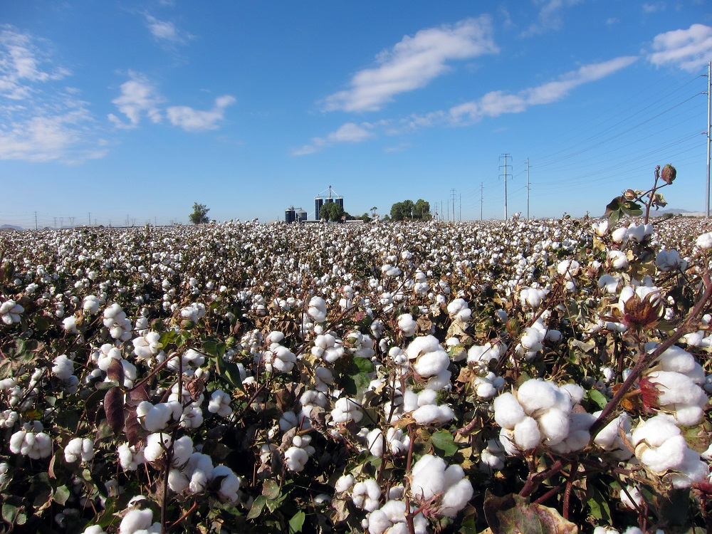 Cotton consumption has fallen in the midst of the coronavirus pandemic and all major consuming countries have been impacted, ICAC said.