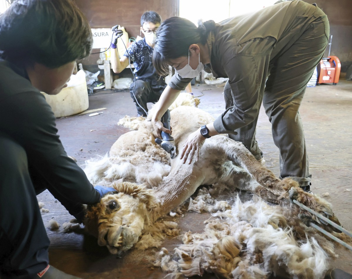 Uniqlo has reportedly banned alpaca wool after an undercover exposé by PETA last month appeared to show animal abuse at a farm in Peru.