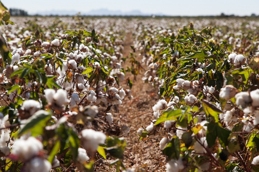 Organic cotton production increased 31 percent for the 2018/19 harvest year–the second-largest harvest on record after 2009/10.
