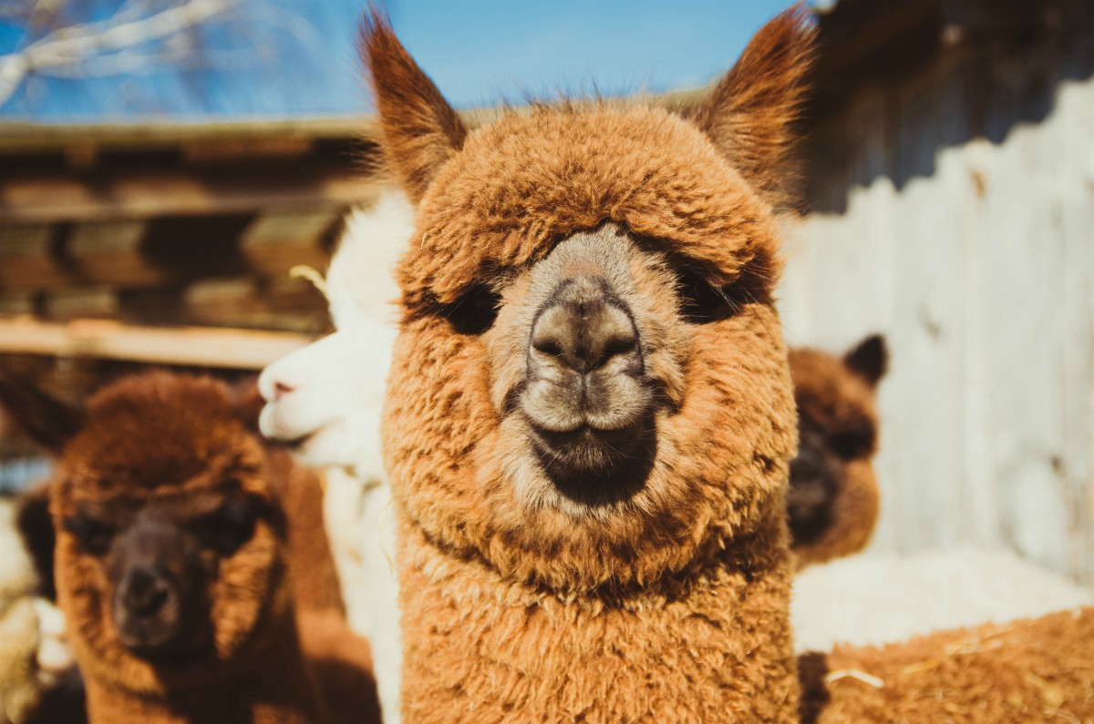 Valentino became the first luxury house to ban alpaca wool following a PETA exposé that appeared to show animal abuse.
