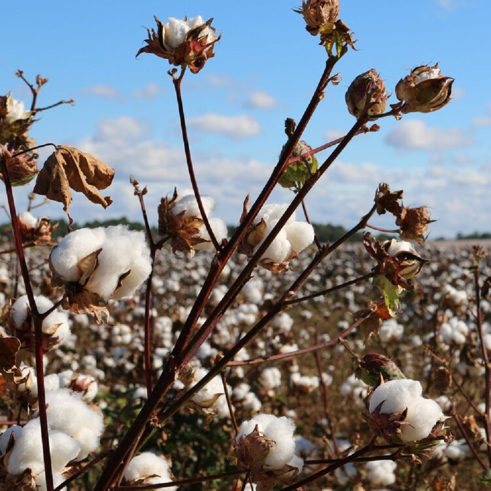 The Organic Cotton Accelerator and the Partnership for Sustainable Textiles set a strategic cooperation for transparent supply chains.
