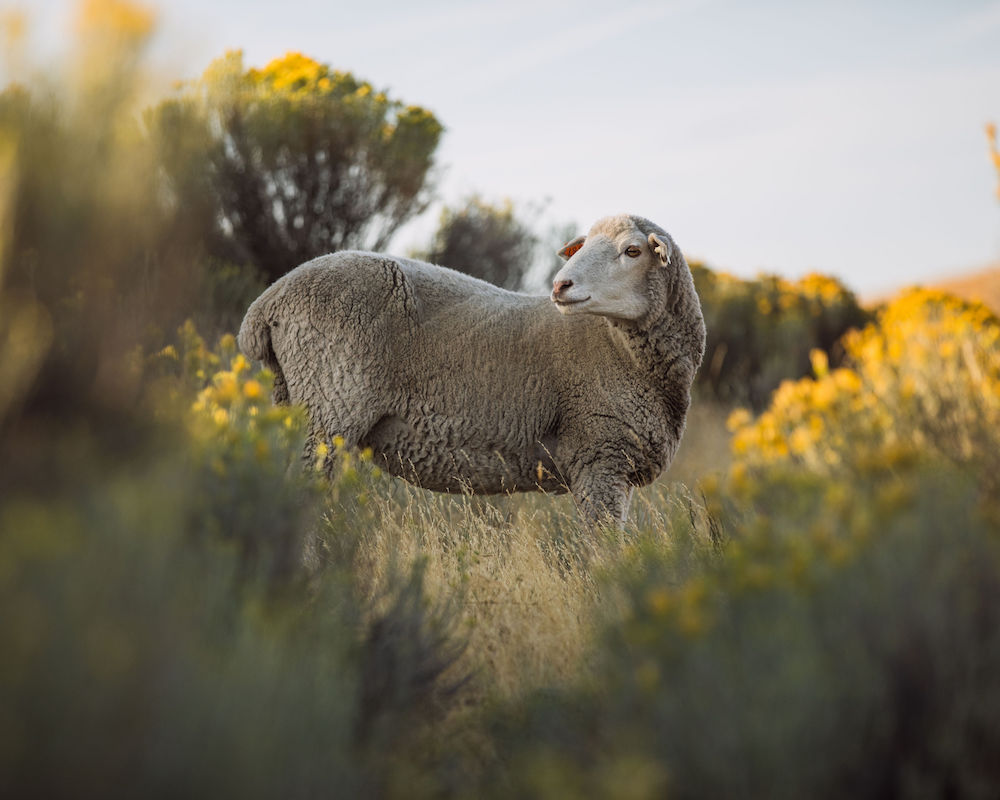 Oregon's Shaniko Wool Company is scientifically measuring the amount of carbon captured by its producers, furthering regenerative practices.