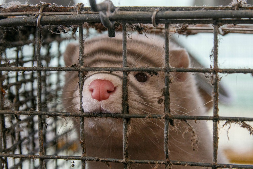 Denmark has dropped plans to forcibly cull thousands of farmed mink due to fears that a mutated form of Covid-19 was passing to humans.