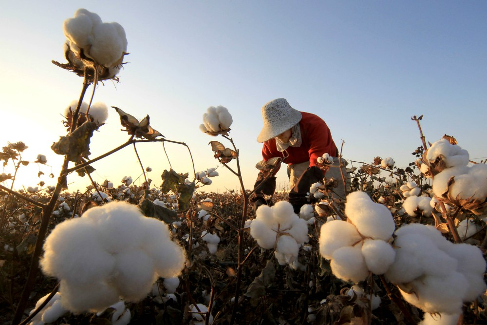 More than half a million ethnic minority workers in China's Xinjiang Uyghur Autonomous Region are forced to pick cotton by hand.