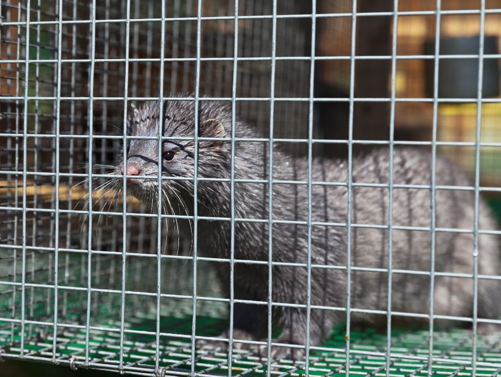 Sweden will be suspending mink breeding through 2021 to mitigate the risk of spreading the coronavirus on its roughly 40 fur farms.