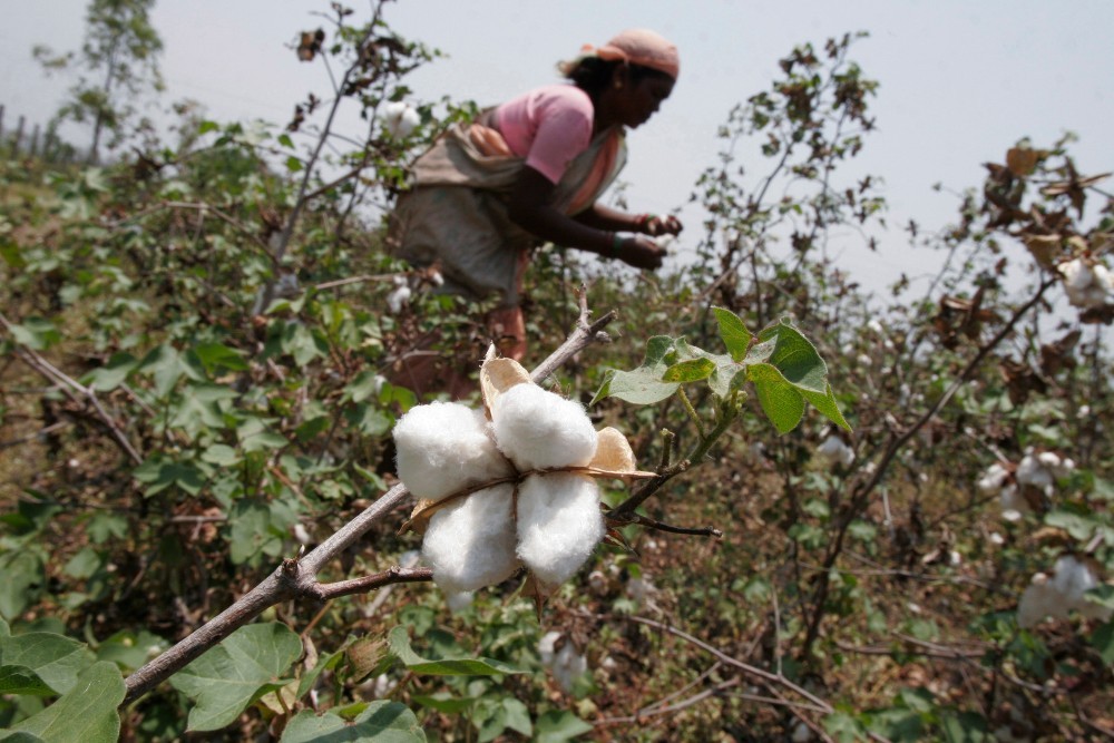While India boasts the largest cotton farming sector, only 2 percent of its output is organic, DBS Bank said.