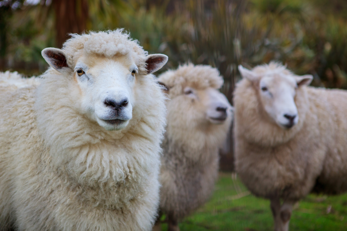 New Zealand Merino Company, Allbirds, Icebreaker and Smartwool launched what they bill as the world's first platform for regenerative wool.
