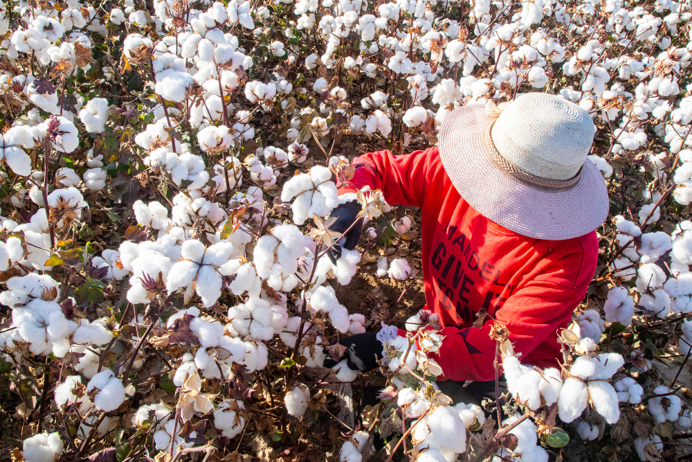 China is poised to launch its own version of the Better Cotton Initiative after the sourcing network halted all activities in Xinjiang.