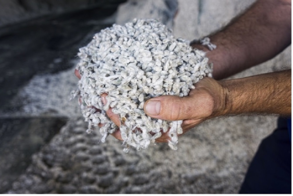 The Organic Cotton Accelerator's new non-GM Cottonseed production guidelines aim to help safeguard the organic cotton supply chain.