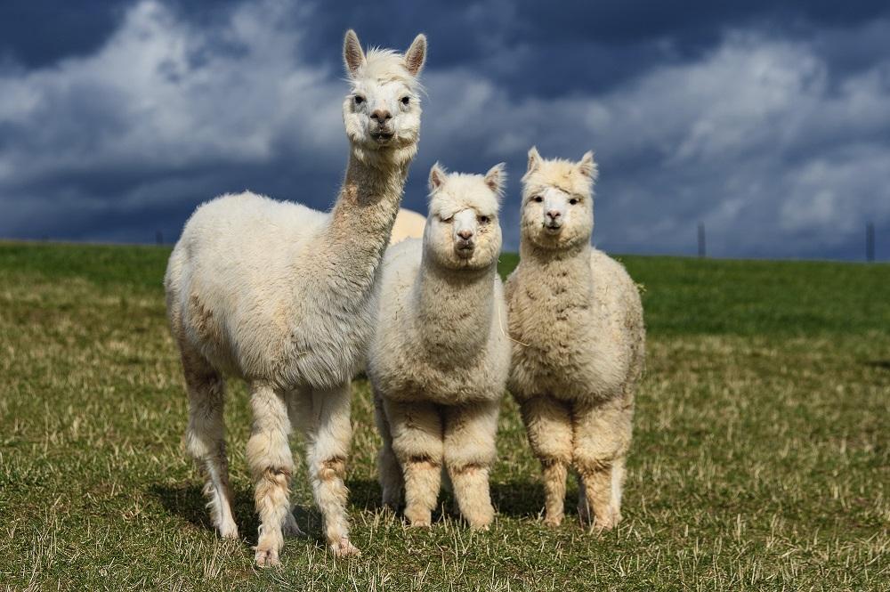PETA says Textile Exchange's Responsible Alpaca Standard fails to prevent animal suffering and urged retailers to stop using alpaca fleece.