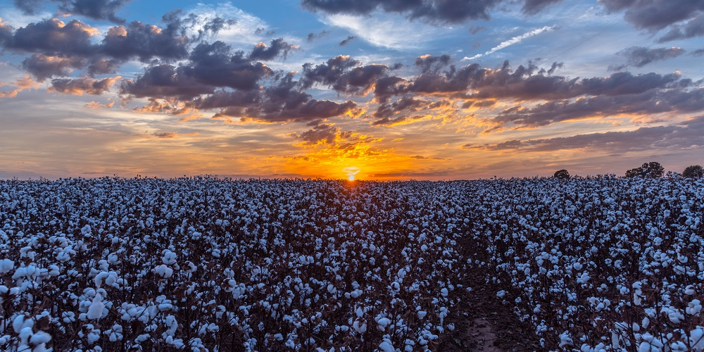 U.S. spot cotton prices averaged 88.35 cents per pound for the week ended Aug. 12, the highest weekly average since June 14, 2018.