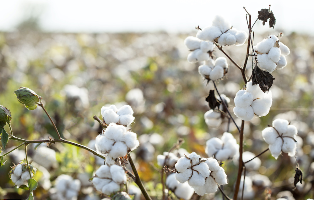 PVH Corp., which owns brands such as Tommy Hilfiger, Calvin Klein and others, announced it will join the U.S. Cotton Trust Protocol.