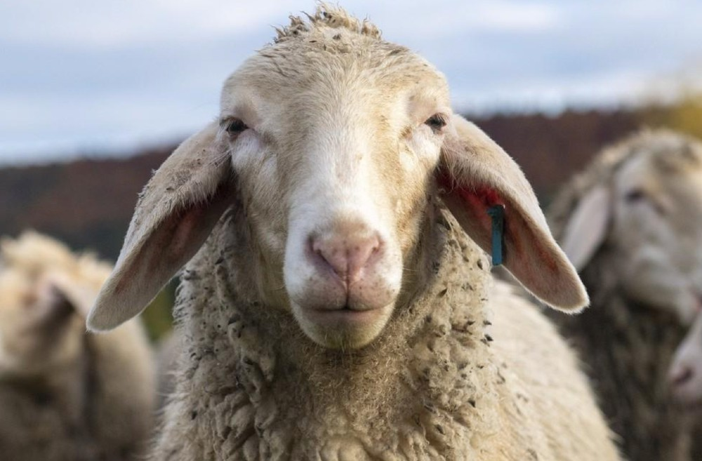 Brands have joined Four Paws in delivering a letter to AWI demanding a plan to end mulesing in the Australian wool industry.