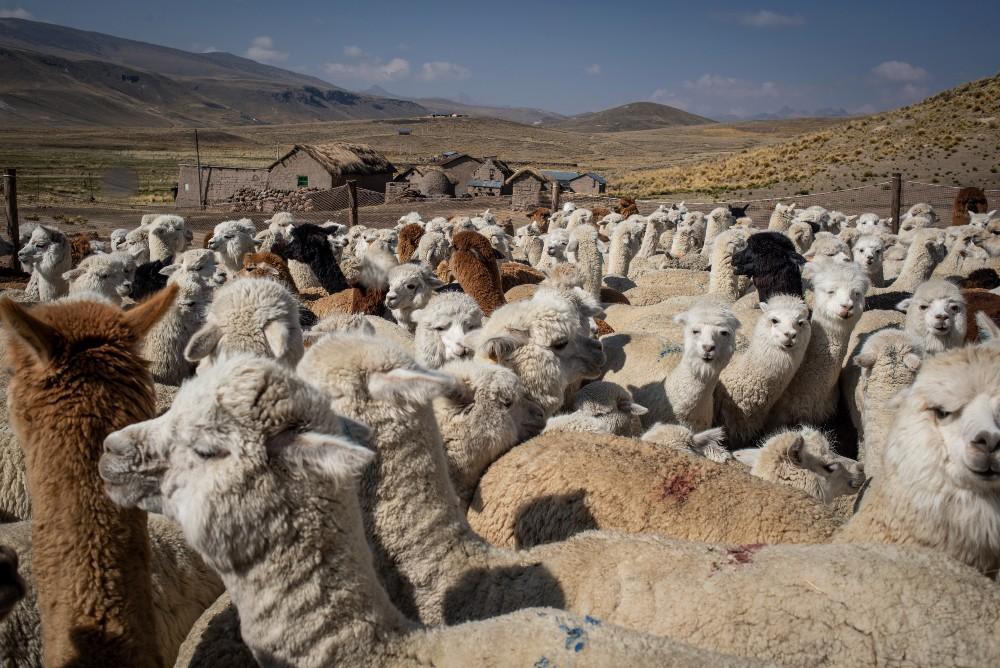 Peruvian alpacas waiting in a pen to be sheared, Nov. 2020.